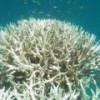 Глобальное потепление «сварило» Большой барьерный риф