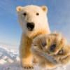 Белые медведи Аляски победили нефтяников