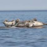 """Эстония хочет остановить """"Северный поток-2"""" с помощью тюленей"""