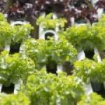 Биткойны можно использовать для выращивания овощей и разведения рыбы