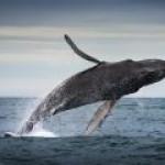 Появление нефтяной индустрии спасло китов от истребления?