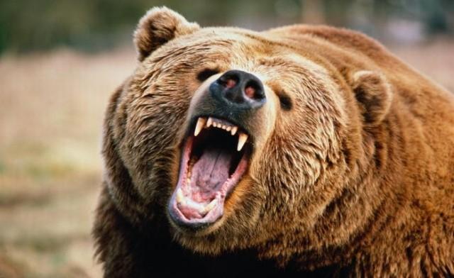 Medved Bear